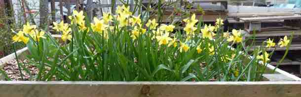 daffs for web
